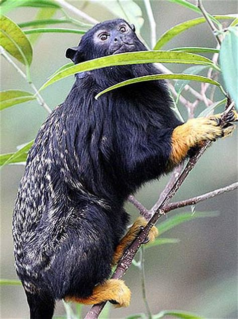 Red-Handed Tamarin - The Monkey with the Golden Touch