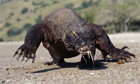 Komodo dragons maul man to death | World news | The Guardian
