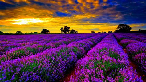 Most Beautiful Field Of Lavender Flowers Widescreen