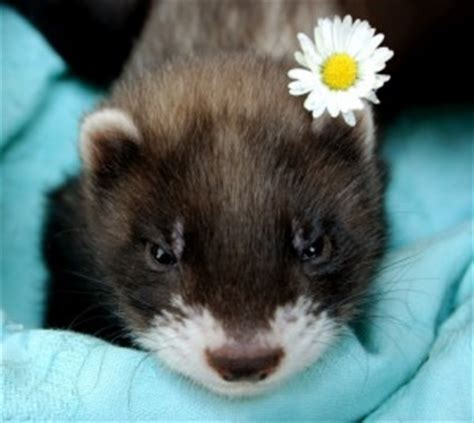cute-baby-ferret-pic-flower | Baby Animal Zoo