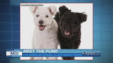 The Pumi | American Kennel Club Introduces Newest Breed