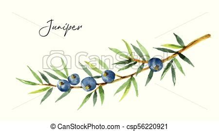 Watercolor plants juniper isolated on white background