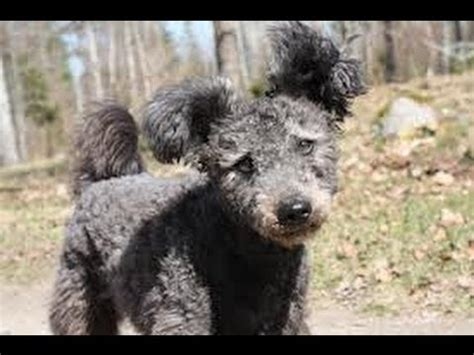 Pumi dog puppies in Sweden for YOU ! - YouTube