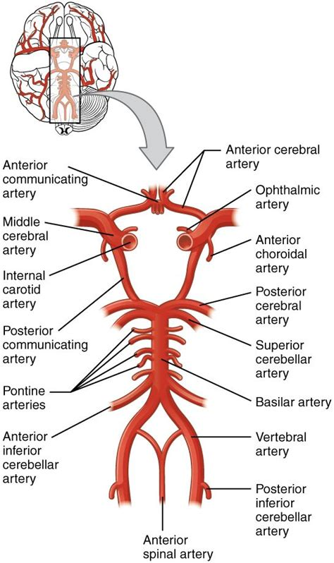 circle of willis - Google Search   Anatomy and physiology