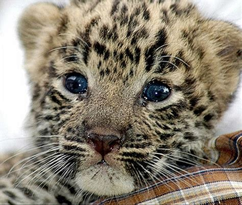 cute-baby-leopard | Baby Animal Zoo
