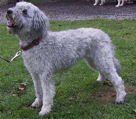 Pumi Breed Guide - Learn about the Pumi