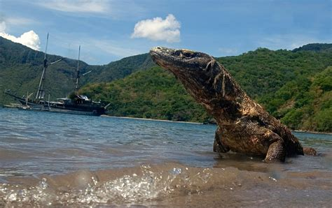 Mystery of the Komodo dragon's poisonous bite is solved