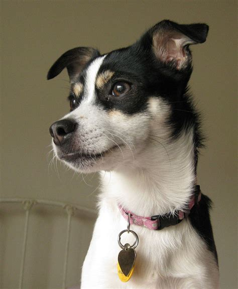 File:Lucy, a Rat Terrier
