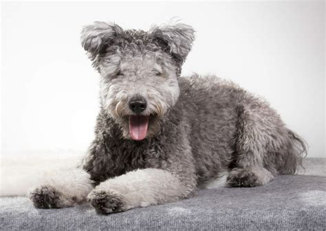 Hungarian Pumi | Dogs | Breed Information | Omlet